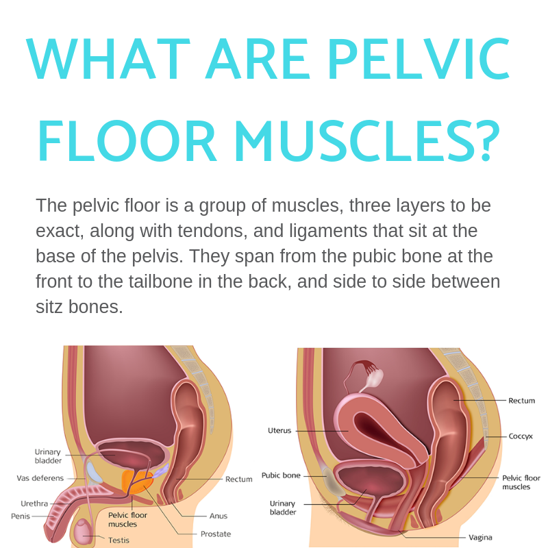 What are pelvic floor muscles? diagram and definition infographic