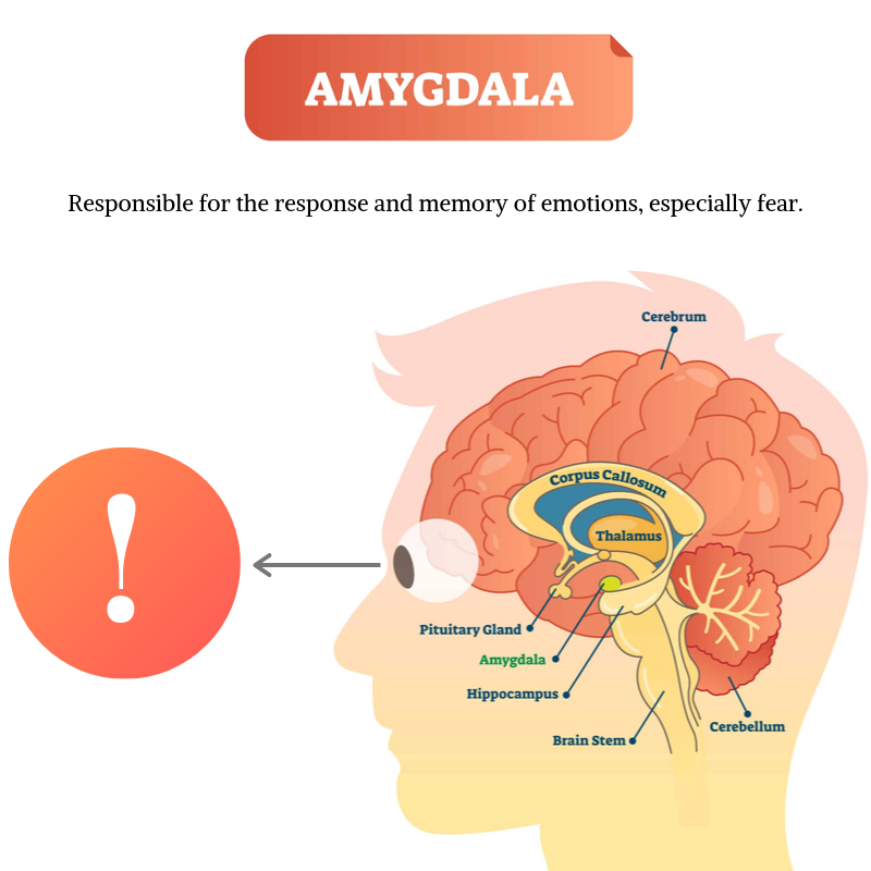 amygdala emotional response fear mindfulness training Propel Physiotherapy